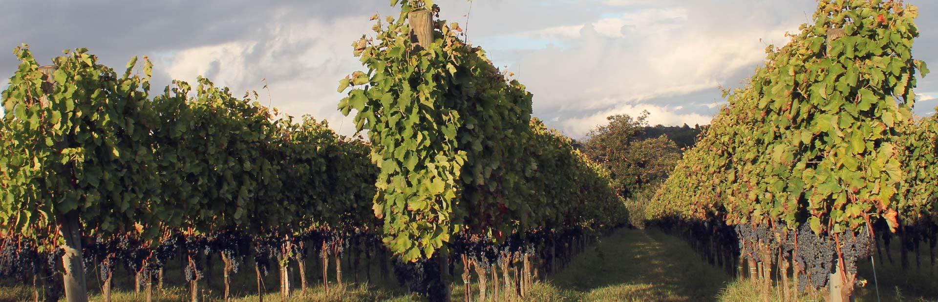 fattoria pagano schede vini