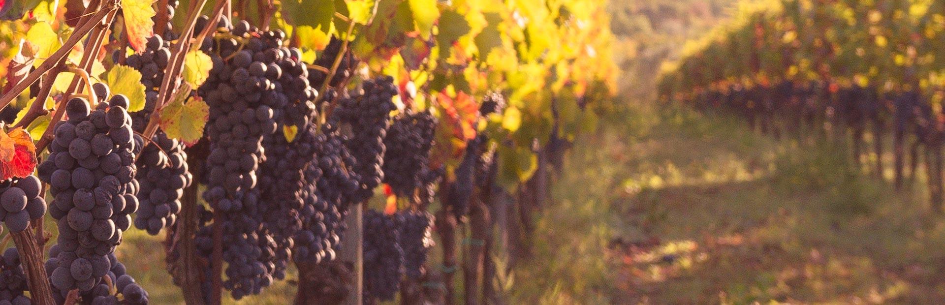 fattoria pagano schede vini_gaurasi