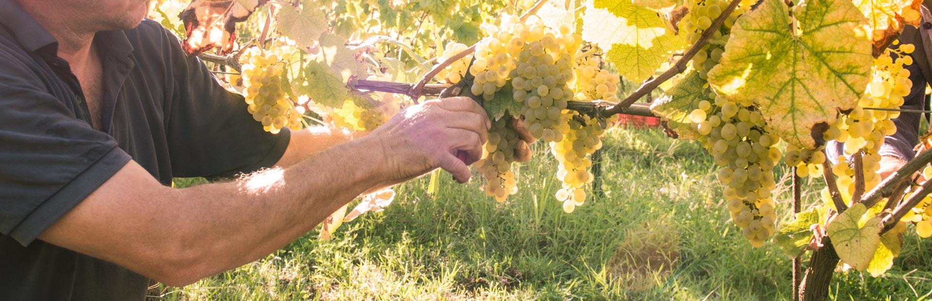 foto pagina vino rose